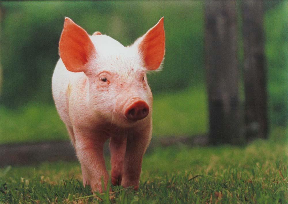 """Digitaldruck auf Glas - Darstellung eines Schweinchens - ob dies das berühmte Schweinchen """"Babe"""" ist ?"""