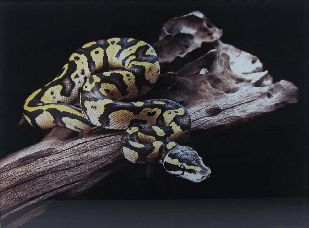 Digitaldruck auf Glas - Darstellung einer Schlange